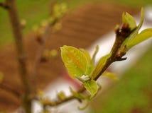 Τα φύλλα των νέων δέντρων της Apple την άνοιξη Στοκ εικόνες με δικαίωμα ελεύθερης χρήσης