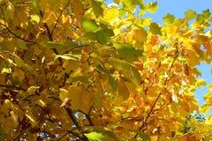 Τα φύλλα φθινοπώρου ενάντια στο μπλε ουρανό Στοκ Εικόνα