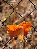 Τα φύλλα φθινοπώρου πρόφθασαν Στοκ Φωτογραφία