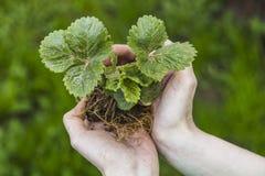 τα χέρια έννοιας προσοχής που κρατούν το φυτό παίρνουν τις νεολαίες γυναικών Στοκ Φωτογραφίες