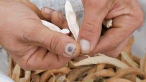 Τα χέρια ατόμων που ξεφλουδίζουν το άσπρο και ρόδινο χρώμα φασολιών και το τραβούν πέρα από ένα σύνολο τσαντών της ξηράς ώριμης σ απόθεμα βίντεο
