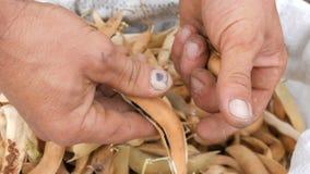 Τα χέρια ατόμων που ξεφλουδίζουν το ασυνήθιστο πορφυρό χρώμα φασολιών και το τραβούν πέρα από ένα σύνολο τσαντών της ξηράς ώριμης απόθεμα βίντεο