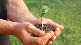 Τα χέρια ατόμων της Farmer κρατούν το έδαφος στο οποίο ο βλαστημένος νεαρός βλαστός φασολιών απόθεμα βίντεο