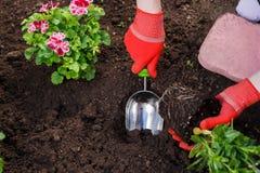 Τα χέρια κηπουρών που φυτεύουν τα λουλούδια στον κήπο, κλείνουν επάνω τη φωτογραφία στοκ φωτογραφίες με δικαίωμα ελεύθερης χρήσης