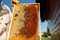Τα χέρια κινηματογραφήσεων σε πρώτο πλάνο του μελισσοκόμου κρατούν το ξύλινο πλαίσιο με την κηρήθρα Συλλέξτε το μέλι Έννοια μελισ στοκ εικόνες