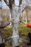 Τα χέρια με τις βούρτσες ασπρίζουν ένα δέντρο Στοκ εικόνα με δικαίωμα ελεύθερης χρήσης