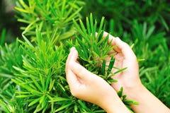 Τα χέρια προστατεύουν yew podocarpus Στοκ φωτογραφία με δικαίωμα ελεύθερης χρήσης
