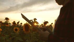 Τα χέρια της επιχειρησιακής γυναίκας είναι τυπωμένα στην οθόνη της ταμπλέτας στον τομέα του ηλίανθου στις ακτίνες του ηλιοβασιλέμ φιλμ μικρού μήκους