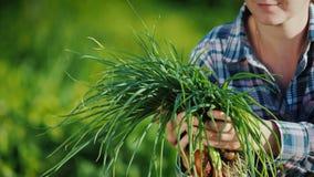 Τα χέρια της Farmer κρατούν μια αγγαλιά των πράσινων κρεμμυδιών που κόπηκαν ακριβώς από τον κήπο απόθεμα βίντεο