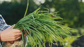 Τα χέρια της Farmer κρατούν μια αγγαλιά των πράσινων κρεμμυδιών που κόπηκαν ακριβώς από τον κήπο r απόθεμα βίντεο
