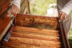 Τα χέρια του μελισσοκόμου βγάζουν από την κυψέλη ένα ξύλινο πλαίσιο με την κηρήθρα Συλλέξτε το μέλι Έννοια μελισσοκομίας στοκ φωτογραφία με δικαίωμα ελεύθερης χρήσης