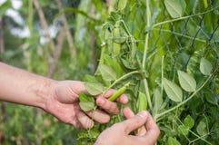 Τα χέρια των ατόμων σχίζουν τα ώριμα φρούτα των μπιζελιών που αυξάνονται στον κήπο Στοκ φωτογραφία με δικαίωμα ελεύθερης χρήσης