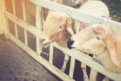 Τα χαριτωμένα αστεία ευτυχή sheeps σε υπαίθριο η κοιλάδα τομέων φύσης VI Στοκ Φωτογραφία