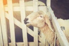 Τα χαριτωμένα αστεία ευτυχή sheeps σε υπαίθριο η κοιλάδα τομέων φύσης VI Στοκ Εικόνες