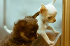 Τα χαριτωμένα κουτάβια στην επίδειξη σε ένα κατοικίδιο ζώο αποθηκεύουν σε Shibuya, Τόκιο, Ιαπωνία στοκ εικόνες