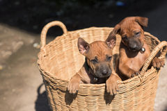 Τα χαριτωμένα μικρά σκυλιά θα συλλάβουν την καρδιά σας Στοκ εικόνες με δικαίωμα ελεύθερης χρήσης
