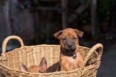 Τα χαριτωμένα μικρά σκυλιά θα συλλάβουν την καρδιά σας Στοκ Φωτογραφία