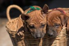 Τα χαριτωμένα μικρά σκυλιά θα συλλάβουν την καρδιά σας Στοκ Φωτογραφίες