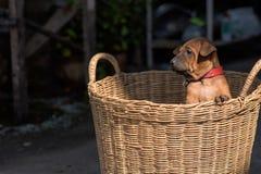 Τα χαριτωμένα μικρά σκυλιά θα συλλάβουν την καρδιά σας Στοκ Εικόνες