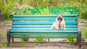 Τα χαριτωμένα παχιά χασμουρητά μαλαγμένου πηλού σκυλιών και κάθονται σε έναν παλαιό μπλε πάγκο στοκ φωτογραφία με δικαίωμα ελεύθερης χρήσης