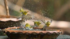 Τα χαριτωμένα πουλιά λούζουν σε ένα μικρό δοχείο Στοκ Φωτογραφία