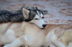 Τα χαριτωμένα σκυλιά βρίσκονται στην περιοχή σπιτιών Κλειδωμένος στο σπίτι πίσω από το φράκτη σιδήρου στοκ εικόνες