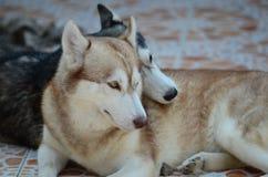 Τα χαριτωμένα σκυλιά βρίσκονται στην περιοχή σπιτιών Κλειδωμένος στο σπίτι πίσω από το φράκτη σιδήρου στοκ εικόνες με δικαίωμα ελεύθερης χρήσης