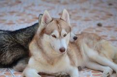 Τα χαριτωμένα σκυλιά βρίσκονται στην περιοχή σπιτιών Κλειδωμένος στο σπίτι πίσω από το φράκτη σιδήρου στοκ εικόνα