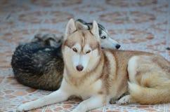 Τα χαριτωμένα σκυλιά βρίσκονται στην περιοχή σπιτιών Κλειδωμένος στο σπίτι πίσω από το φράκτη σιδήρου στοκ φωτογραφία