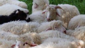 Τα χαριτωμένα χνουδωτά πρόβατα βόσκουν στο λιβάδι μια ηλιόλουστη ημέρα μεγάλο κοπάδι ή κοπάδι των προβάτων στο σταθμό ή το αγρόκτ φιλμ μικρού μήκους