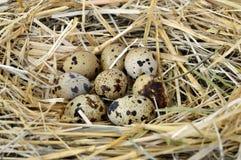 Τα χορτάρια και οι εγκαταστάσεις στο αυγό ορτυκιών ` s, τη φωλιά πουλιών ` s και τα αυγά, εικόνες των αυγών στα ορτύκια ` s τοποθ Στοκ Εικόνα