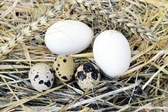 Τα χορτάρια και οι εγκαταστάσεις στο αυγό ορτυκιών ` s, τη φωλιά πουλιών ` s και τα αυγά, εικόνες των αυγών στα ορτύκια ` s τοποθ Στοκ Εικόνες