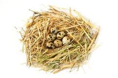 Τα χορτάρια και οι εγκαταστάσεις στο αυγό ορτυκιών ` s, τη φωλιά πουλιών ` s και τα αυγά, εικόνες των αυγών στα ορτύκια ` s τοποθ Στοκ φωτογραφία με δικαίωμα ελεύθερης χρήσης
