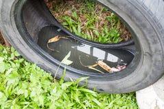 Τα χρησιμοποιημένα ελαστικά αυτοκινήτου αποθηκεύουν ενδεχομένως το στάσιμες νερό και τη φυλή κουνουπιών Στοκ Φωτογραφία
