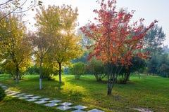 Τα χρυσά δέντρα φθινοπώρου και το ηλιοβασίλεμα πορειών Στοκ Εικόνα