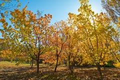 Τα χρυσά δέντρα φθινοπώρου στοκ φωτογραφίες
