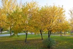Τα χρυσά δέντρα φθινοπώρου στοκ εικόνες με δικαίωμα ελεύθερης χρήσης