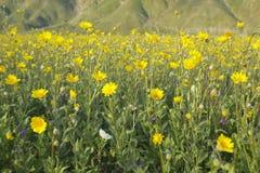 Τα χρυσά και κίτρινα λουλούδια ερήμων άνοιξη κοντά στο δρόμο Henderson στο κρατικό πάρκο ερήμων anza-Borrego, κοντά σε Anza Borre Στοκ εικόνες με δικαίωμα ελεύθερης χρήσης
