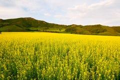 Τα χρυσά λουλούδια βιασμών Στοκ εικόνα με δικαίωμα ελεύθερης χρήσης