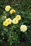 Τα χρυσά λουλούδια κρητιδογραφιών του κήπου αυξήθηκαν Στοκ φωτογραφία με δικαίωμα ελεύθερης χρήσης