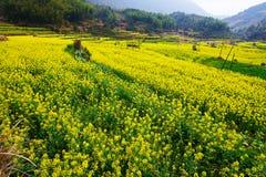 Τα χρυσά λουλούδια φυσικά Στοκ Εικόνες
