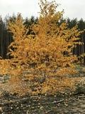 Τα χρυσά φύλλα πτώσης αντιπαραβάλλουν τα ψηλά δέντρα πεύκων στη ΦΥΣΗ της Ουκρανίας στοκ εικόνα με δικαίωμα ελεύθερης χρήσης