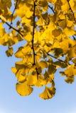 Τα χρυσά φύλλα ginkgo στοκ εικόνα με δικαίωμα ελεύθερης χρήσης
