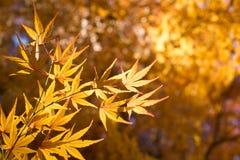 Τα χρυσά φύλλα σφενδάμου Στοκ φωτογραφίες με δικαίωμα ελεύθερης χρήσης