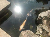 Τα χρυσά ψάρια συγκεντρώνουν τον ιαπωνικό κήπο στοκ φωτογραφίες
