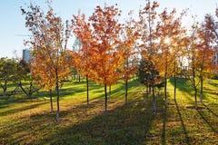 Τα χρυσές δέντρα και οι σκιές πτώσης στο ηλιοβασίλεμα χορτοταπήτων Στοκ Εικόνα