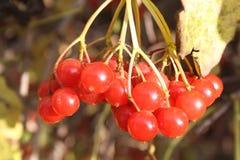 Τα χρώματα της φύσης kalina στοκ εικόνες
