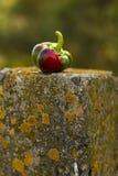 Τα χρώματα του κόκκινος-πράσινου φθινοπώρου πιπεριών φύσης Στοκ φωτογραφία με δικαίωμα ελεύθερης χρήσης