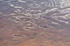 Τα ψάρια αναπνέουν στην επιφάνεια του νερού έλλειψη οξυγόνου στο νερό στοκ φωτογραφίες