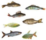 τα ψάρια απομόνωσαν επτά Στοκ Εικόνες